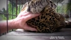 Big Kitty loves to be stroked....