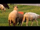 Funny Love Animals Animal Mating Farm