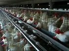 Modern Poultry Farming in the Punjab