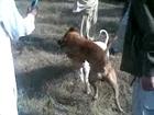 Baba Tanoli Dog